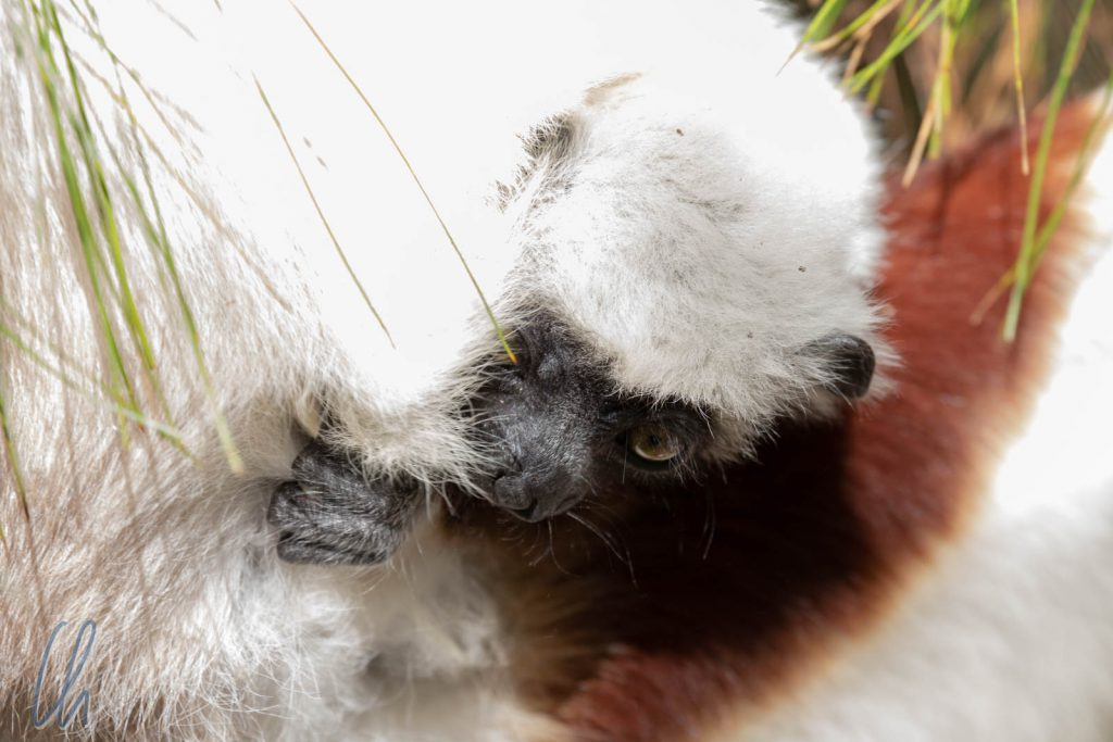 Ein Baby-Sifaka inspiziert vorsichtig die Umgebung.
