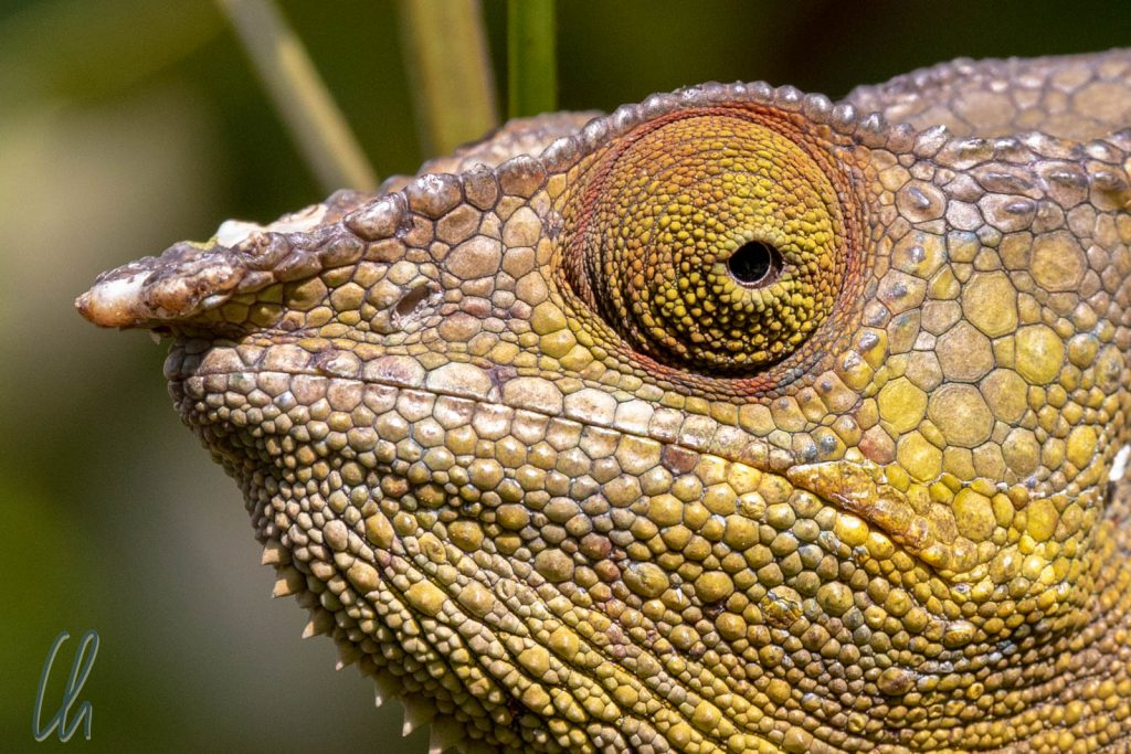 Grumpy Chameleon. Die Mundwinkel können sie nicht verziehen, dafür die Augen unabhängig in alle Himmelrichtungen bewegen.