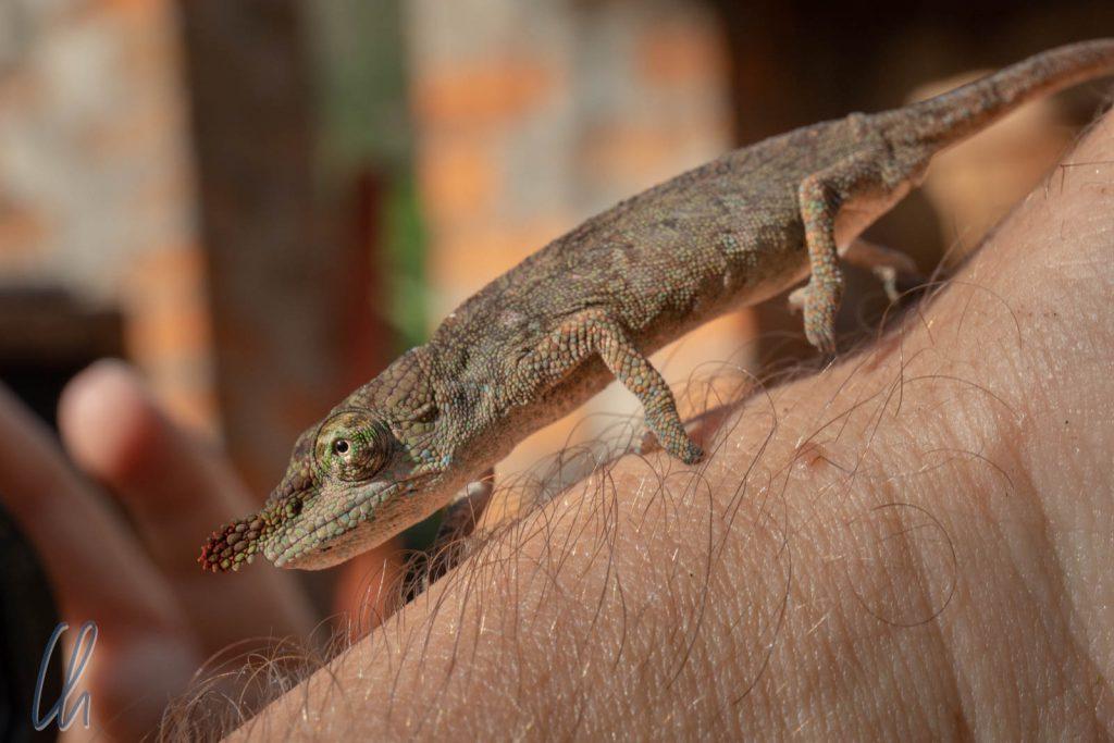 Ein Winzling: Calumma boettgeri. Es wird auch Boettger's Chameleon genannt.