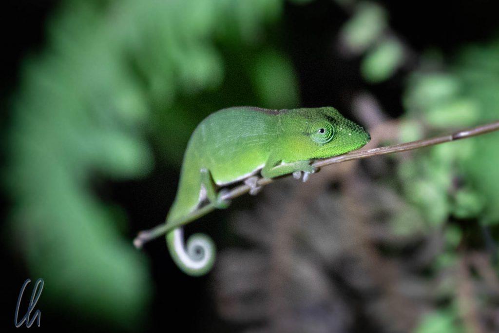 In seiner Umgebung kaum zu erkennen, ein grünes Mini-Chamäleon