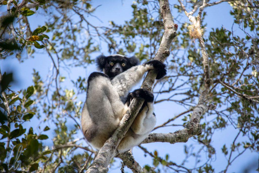 Ein Indri, Babakoto, hoch oben im Baum