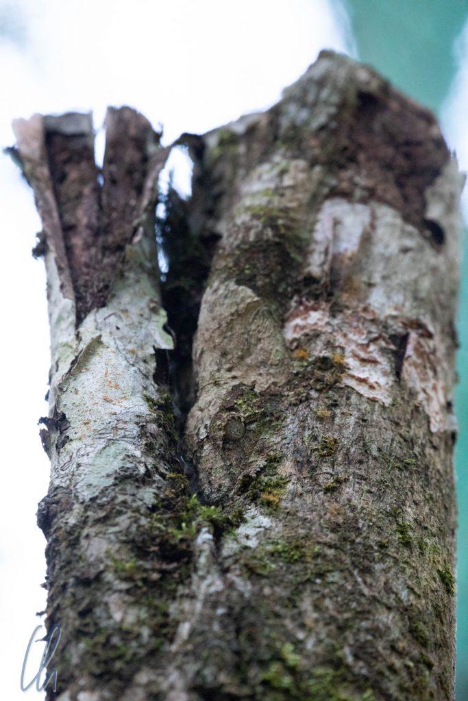 Findet ihr den Blattschwanzgecko?