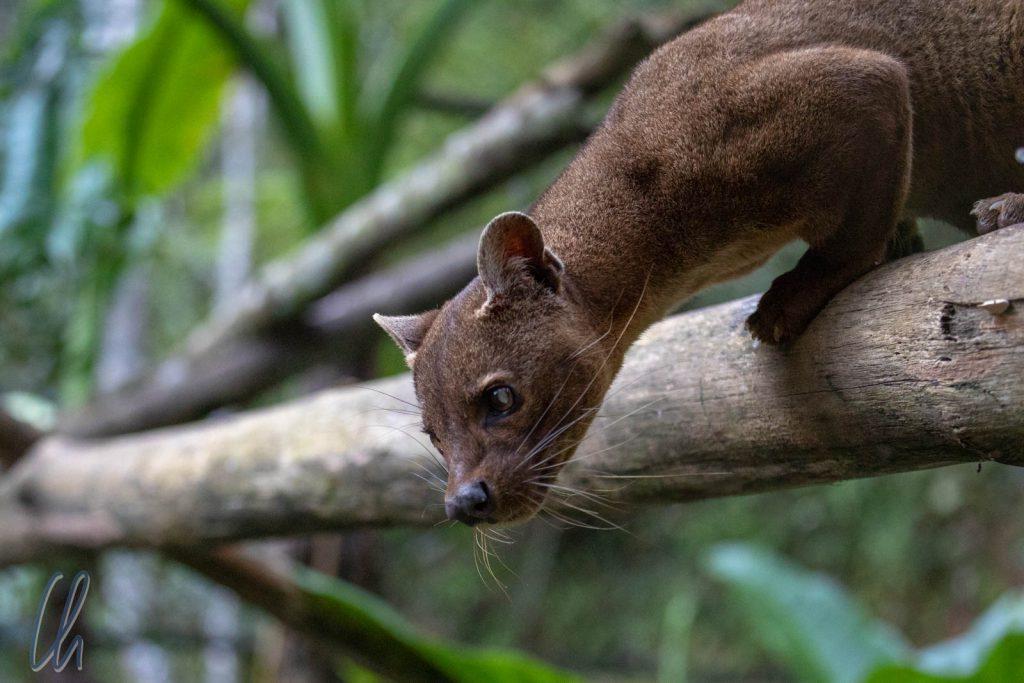 Die Fossa, Madagaskars größte Raubkatze