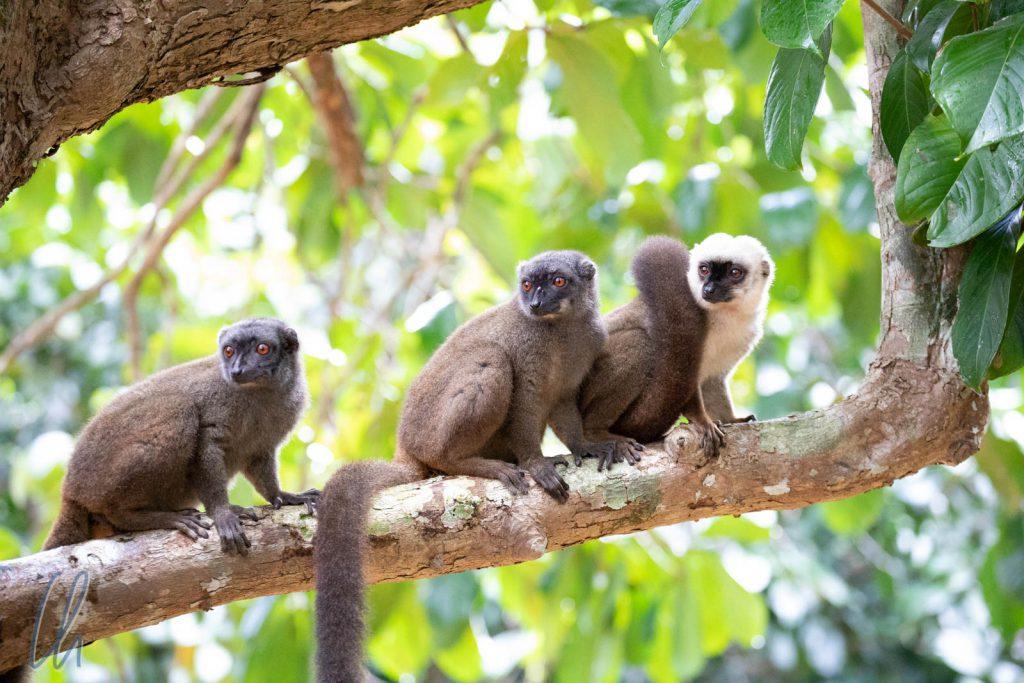 Das Lemuren-Empfangskomitee mit baunen Lemuren und Weißkopfmaki