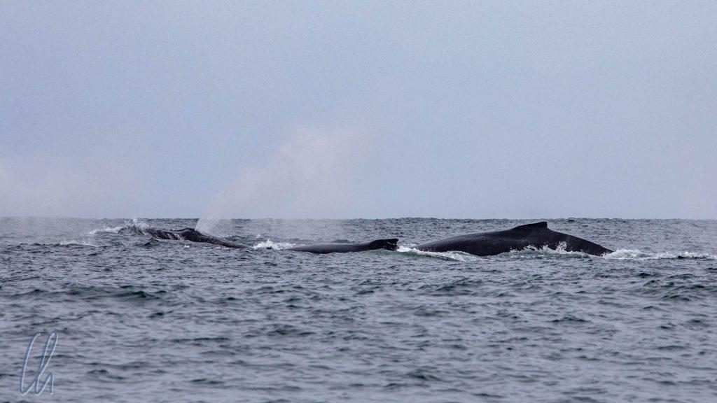 Eine Gruppe von Buckelwalen auf der Überfahrt nach Masoala