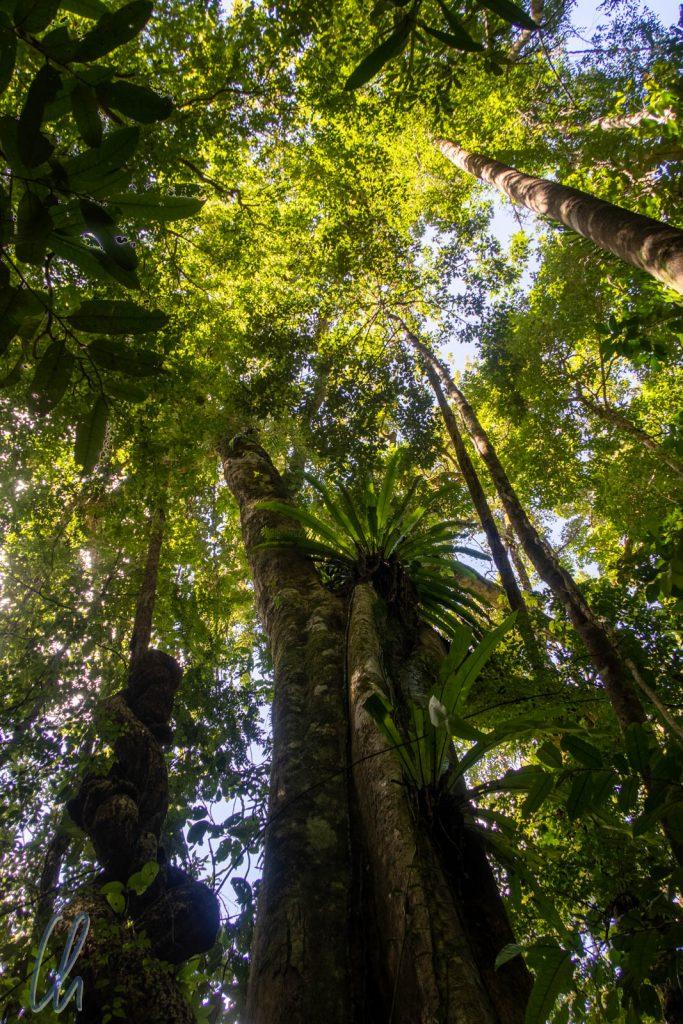 Uralte Bäume im Masoala-Regenwald