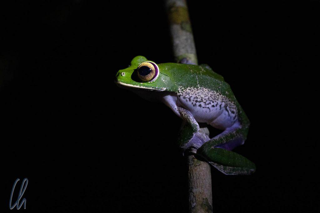 Ein Riesenlaubfrosch (White-lipped tree frog), Boophis albilabris