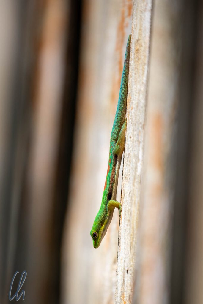 Ein leuchtend grüner Madagaskar-Taggecko