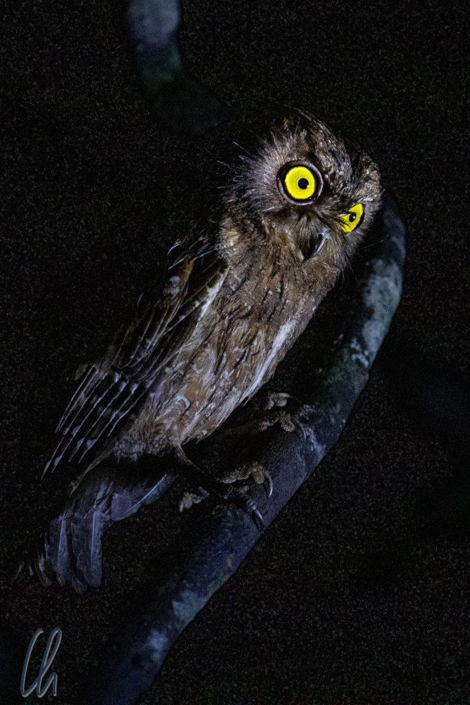 Lautlos fliegt sie durch die Dunkelheit, vermutlich eine Madagaskar-Zwergohreule.
