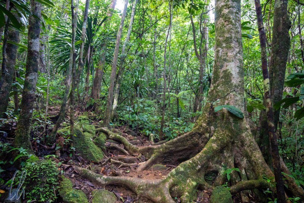 Die Wege im Masoala-Regenwald sind in der Regel sehr naturbelassen und nicht immer gut zu erkennen.