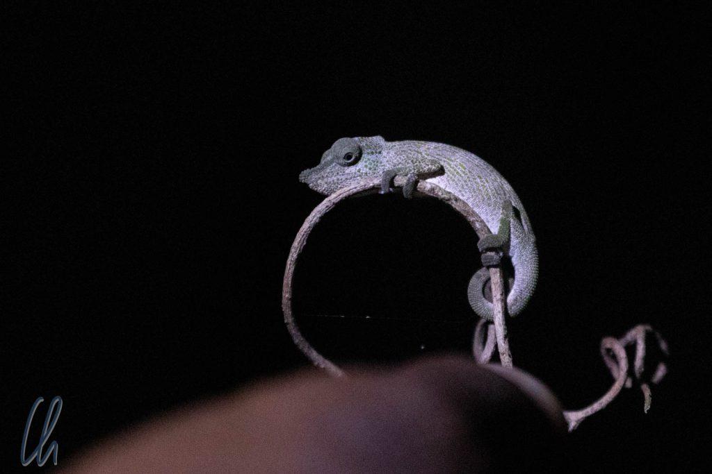 Ein ungehaltenes Mini-Chamäleon im dunklen Regenwald