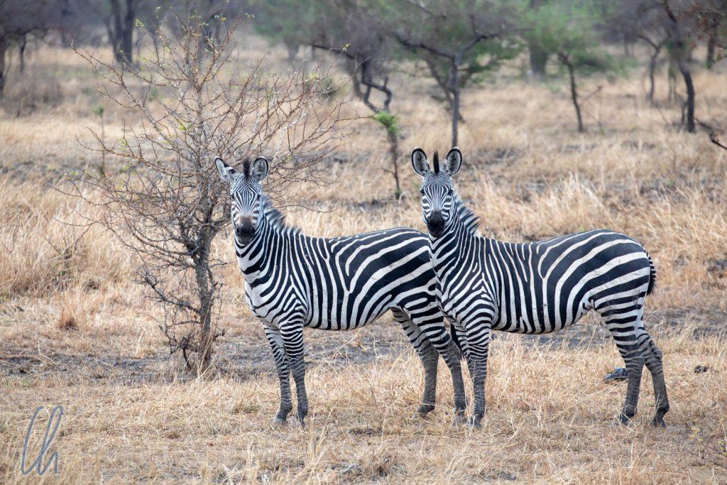 Zwei freundliche Zebras lächeln und zu.