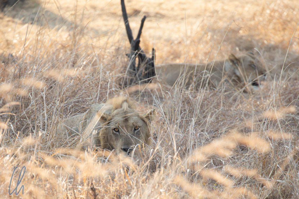 Perfekt getarnte Löwen im Gras