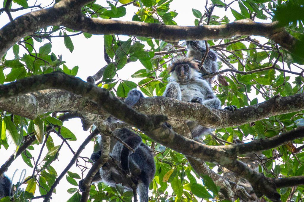 Eine Grupep von roten Stummelaffen (Red Calabass Monkeys)