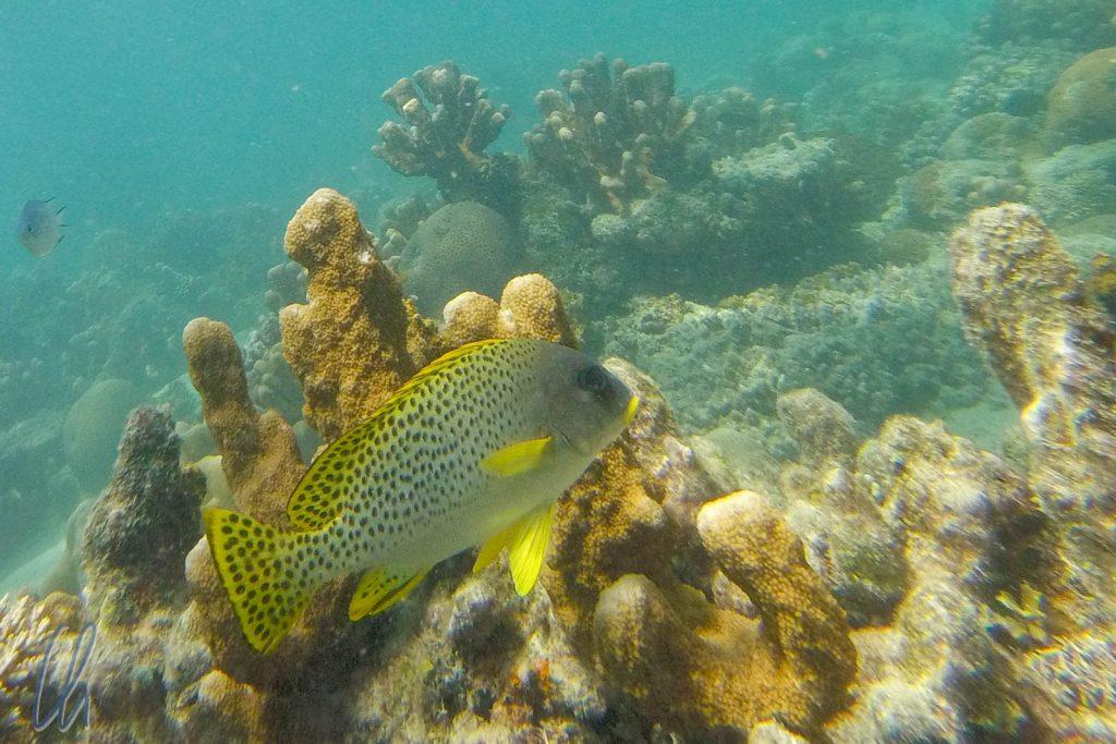 Bunte Fische beim Schnorcheln vor Chumbe Island.