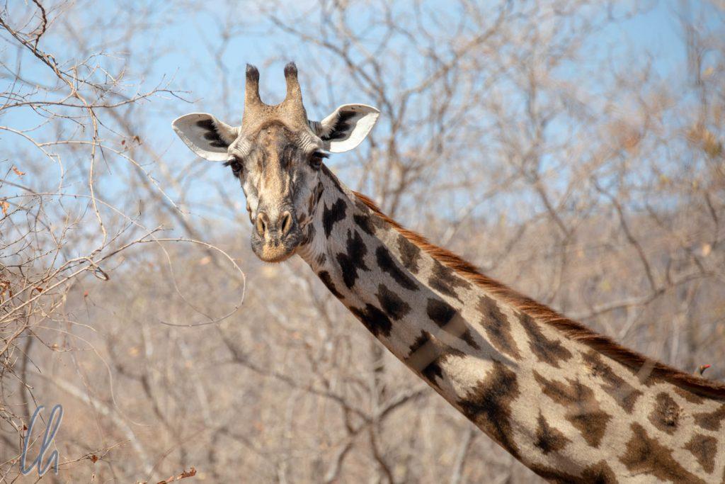 Aus direkter Nähe nicht zu übersehen: Eine Giraffe