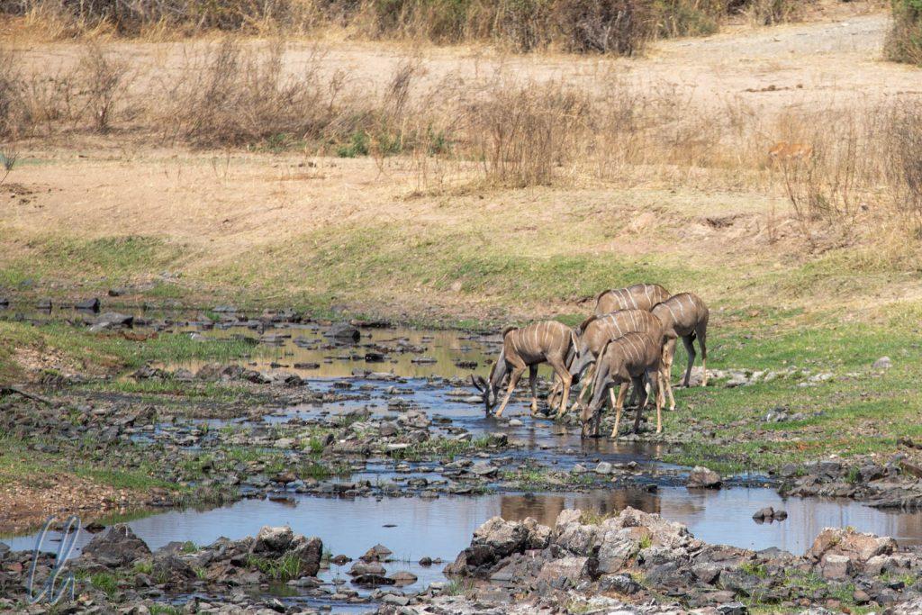 Eine Gruppe Kudus trinkt am Großen Ruaha Fluss.