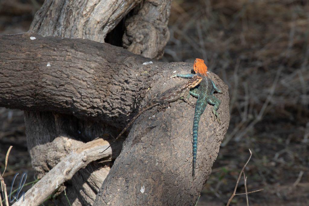 Eine Siedleragamenpaar. Das Männchen hat einen roten Kopf, das Weibchen ist eher farblos.