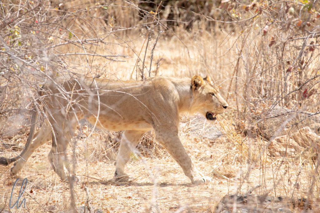 Perfekte Tarnung: Eine Löwin durchstreift das Gebüsch.
