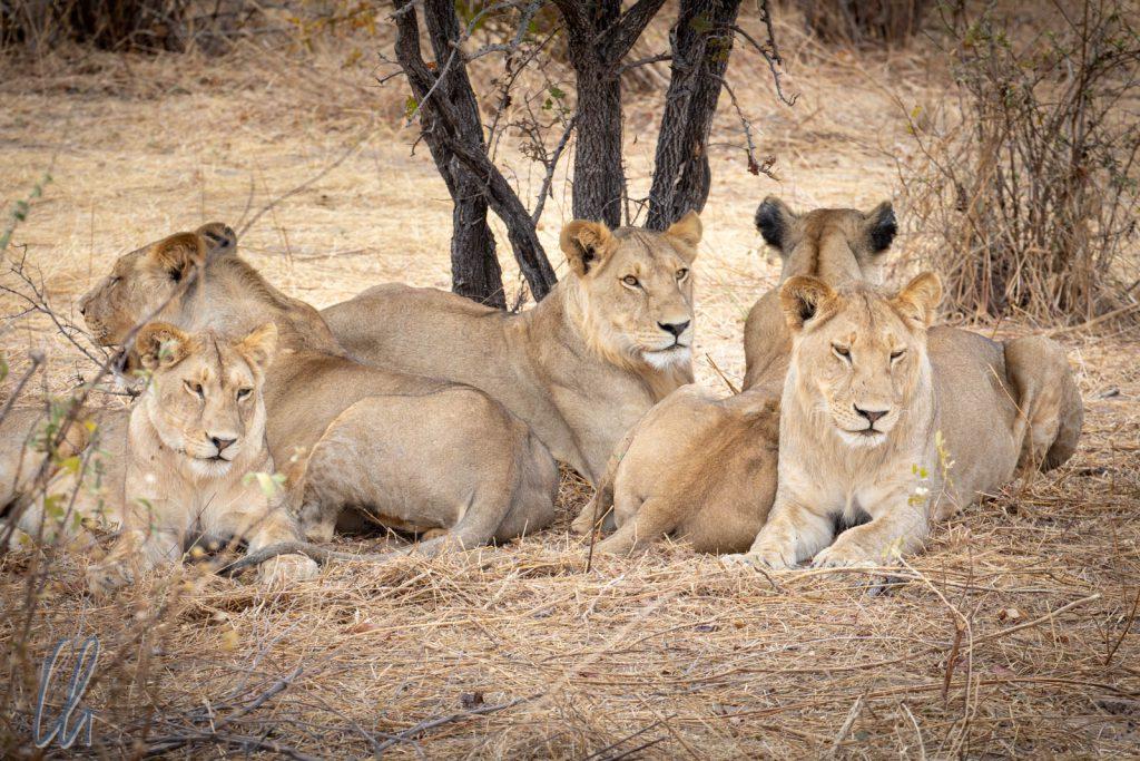 Gemeinsam im Schatten lauernd haben die Löwinnen einen 360-Grad Rundumblick.