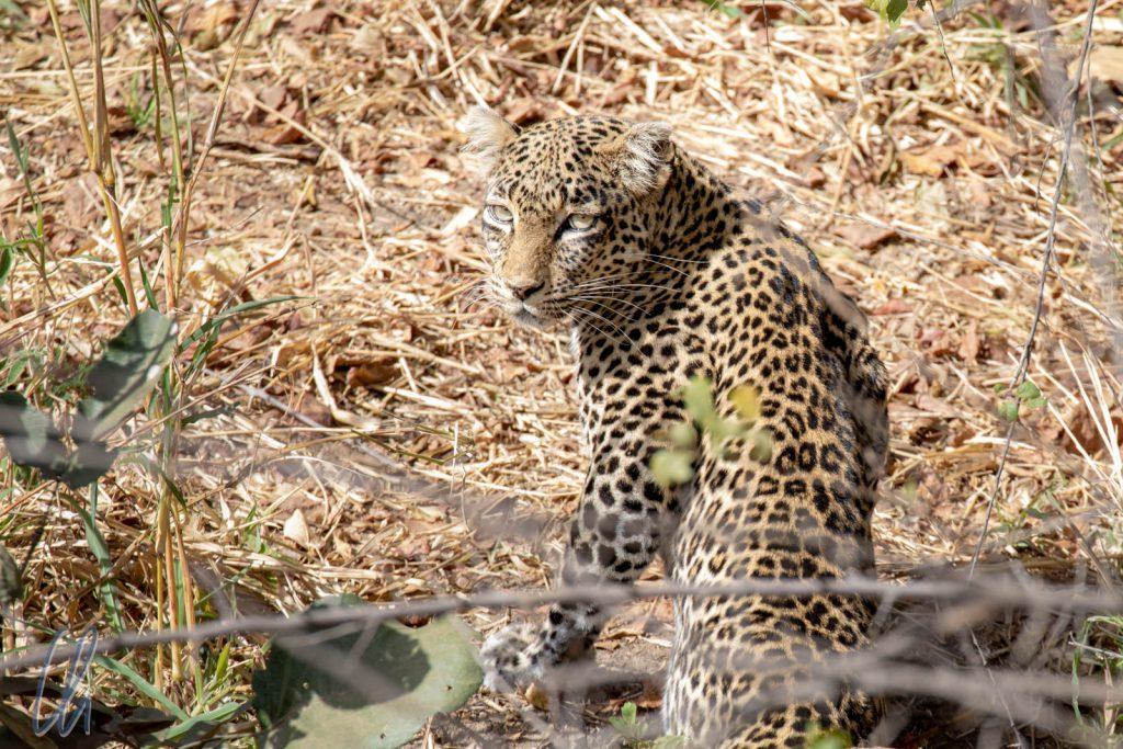 Ein Leopard. Kurz musterte er uns und zog weiter.