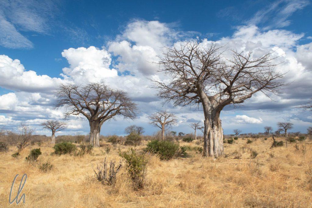Baobab-Bäume recken in einigen Regionen des Ruaha Nationalparks ihre kahlen Äste in den Himmel.