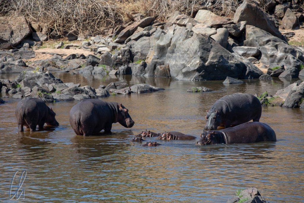 Happy (Baby) Hippos baden im Großen Ruaha Fluß.