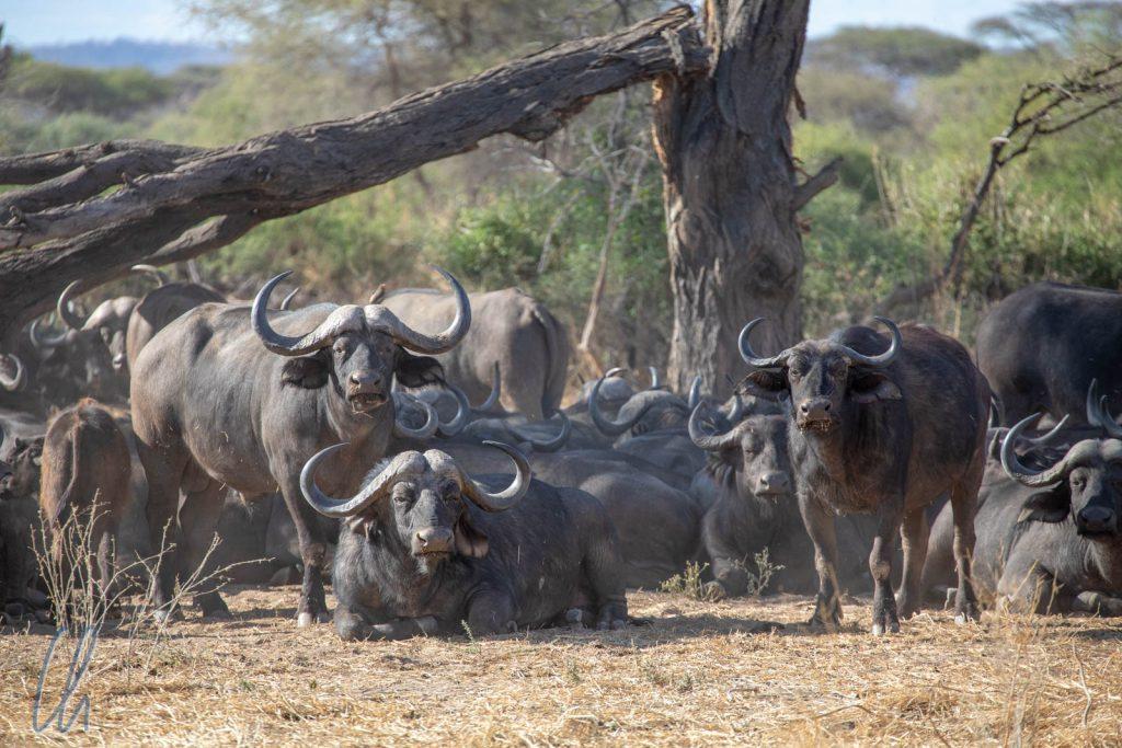 Ein Büffel-Bollwerk