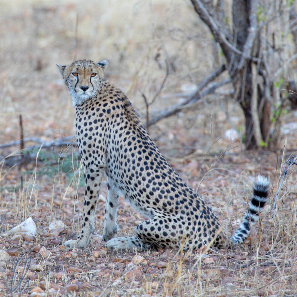 Ein Gepard sondiert seine Umgebung.