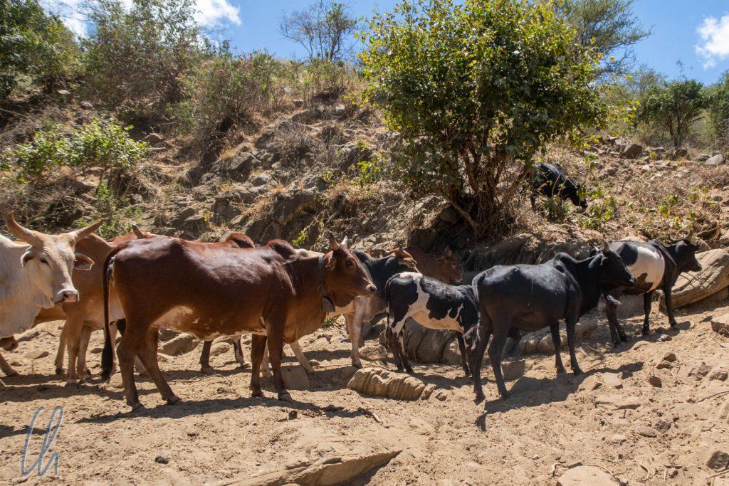 Rinder bedeuten Reichtum in der Welt der Massai.