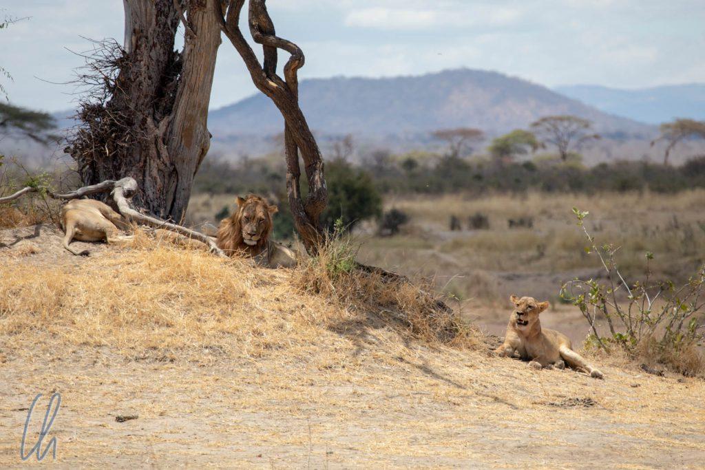 ...liegen einige Löwen unter einem Baum.