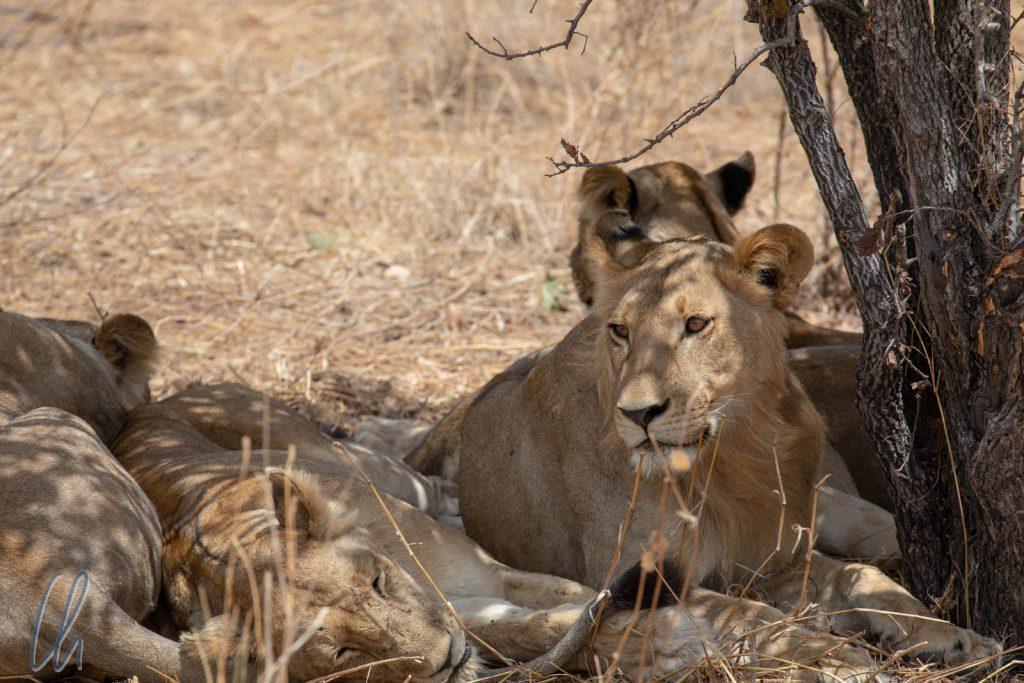 ...und die Löwen chillen im Schatten.