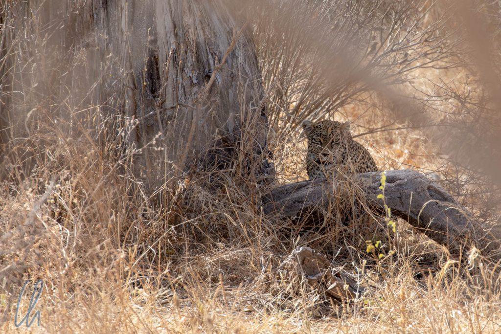 Im Schatten dieses Baumes ist der Leopard fast unsichtbar.