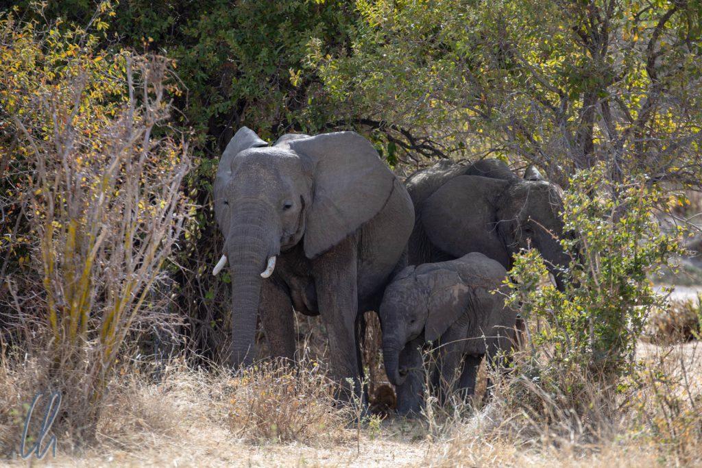 So können sich selbst Elefanten erfolgreich verstecken.