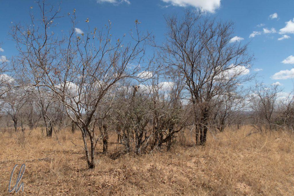 Typische Vegetation im Ruaha Nationalpark