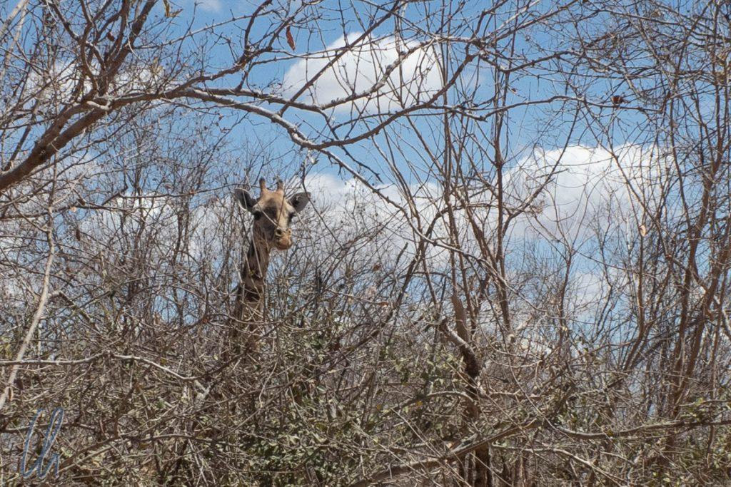 Eine Giraffe lugt durch die Zweige.
