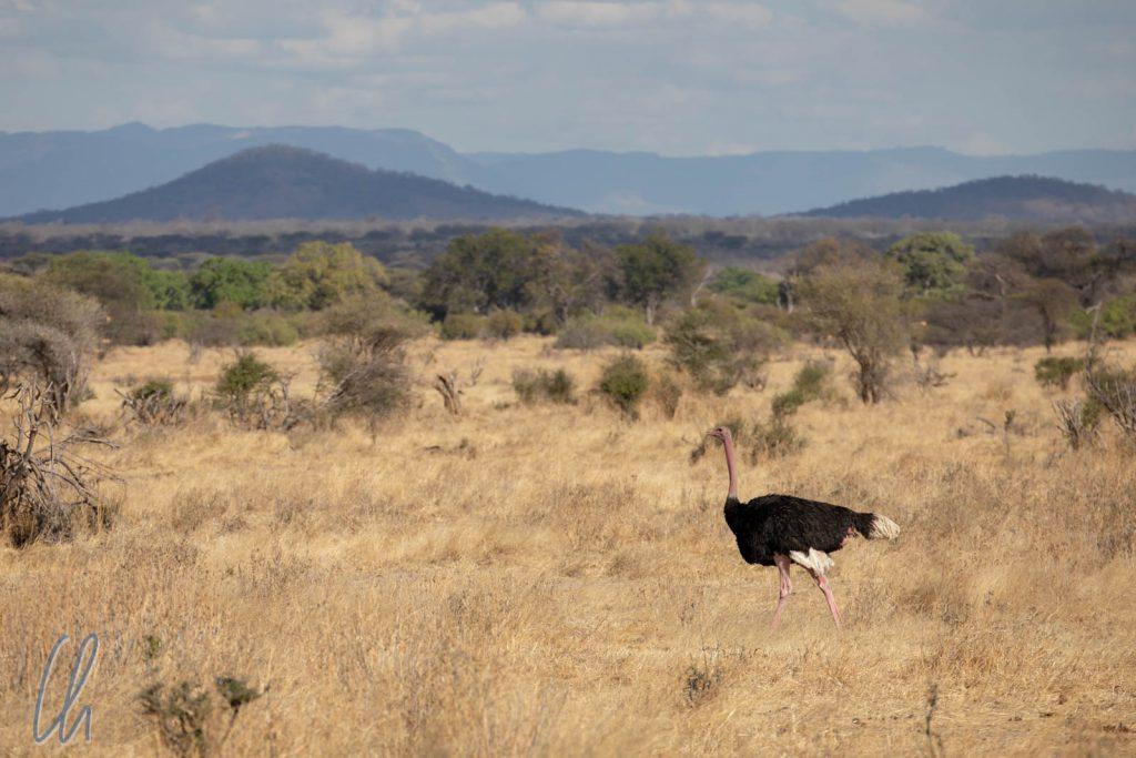 Ein Straußenmännchen auf Wanderschaft