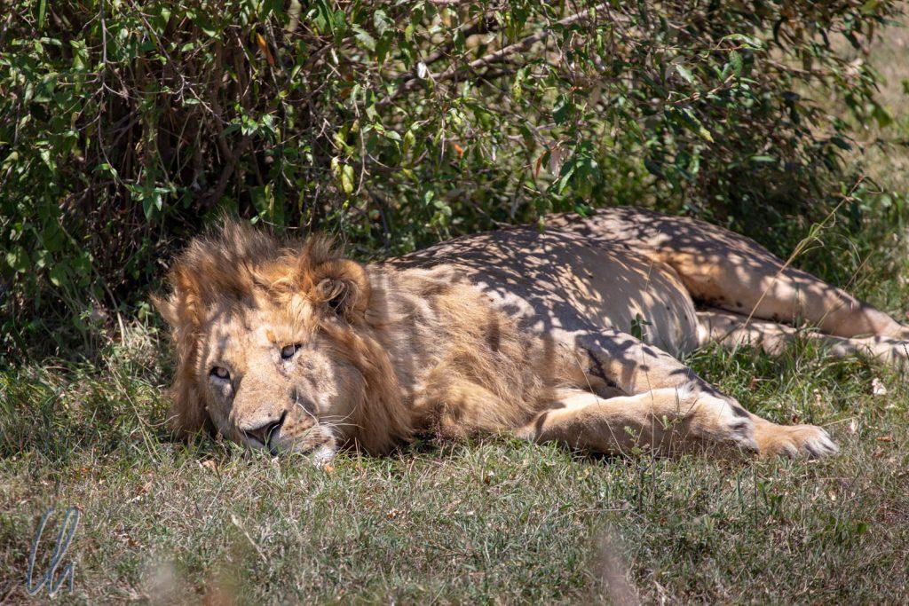 Der König der Tiere ruhte im Schatten.