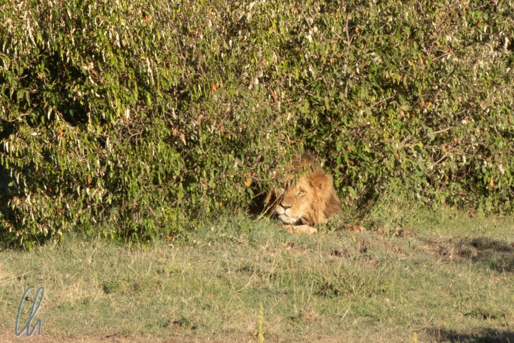 Ein Löwe ruht im Gebüsch.