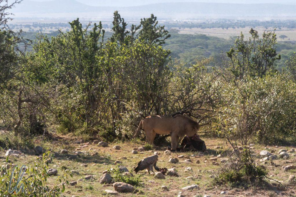 Ein Löwe beim deftigen Frühstück