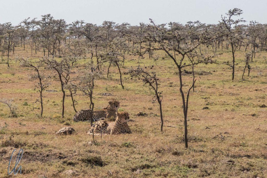 Diese beiden Geparden sahen wir vom Pferderücken aus.