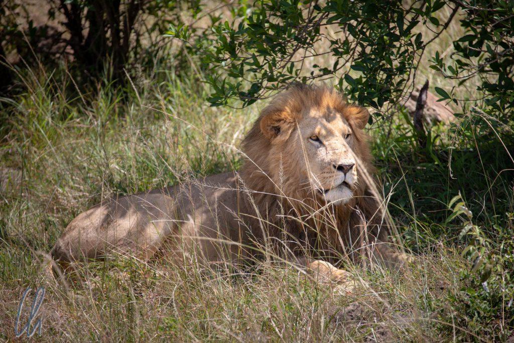 Der König der Tiere höchstpersönlich