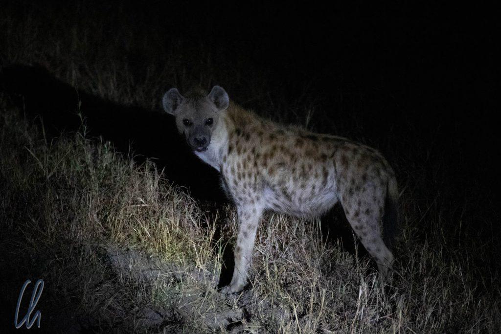 Nachts begaben sich die Hyänen auf Raubzug.