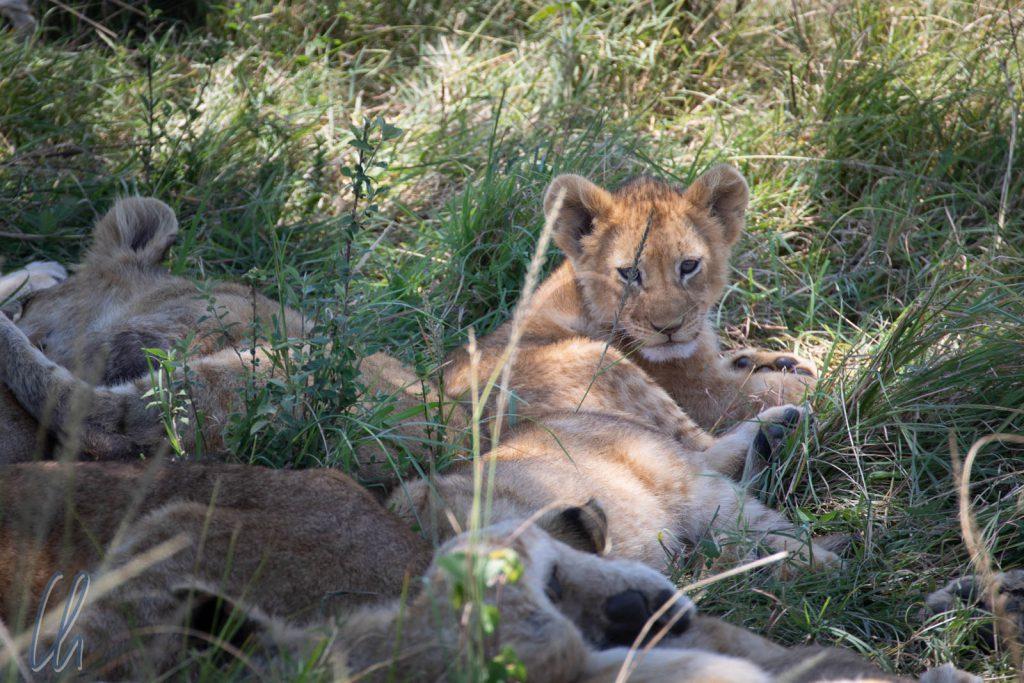 Ein Löwenjunges