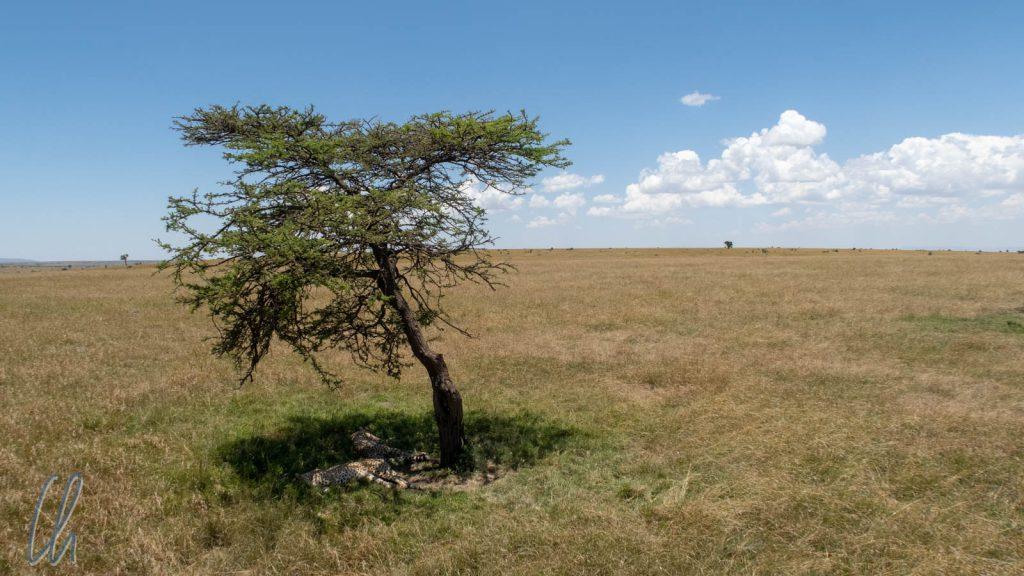 Ein Baum in der Masai Mara, ein Fleck in der Landschaft