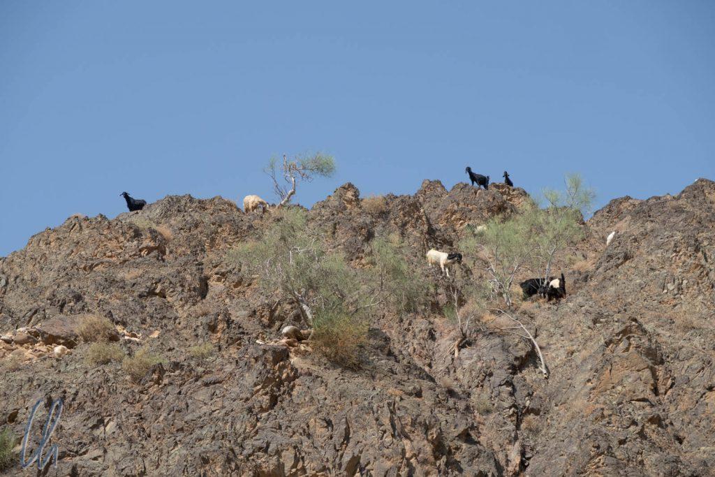 Die Ziegen suchen sich ihr Futter überall in der Wüste.