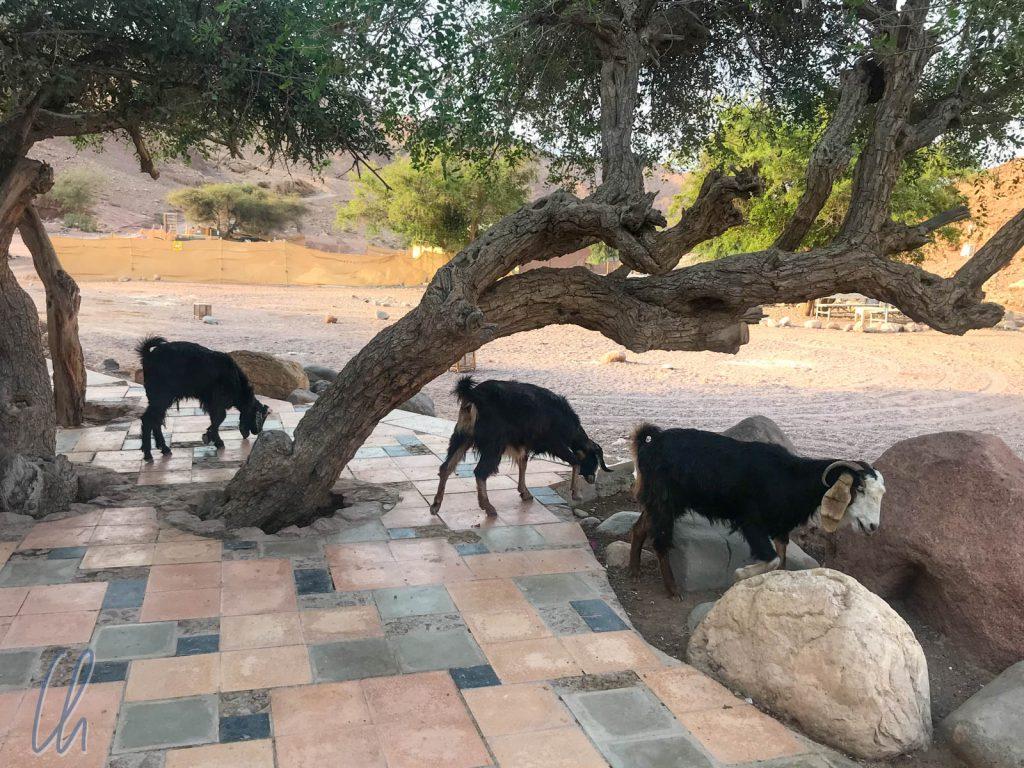 Die lustigen Ziegen fraßen Blätter und Servietten.