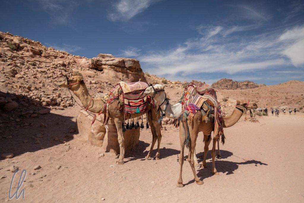 Diesen prächtigen Kamelen begegneten wir in Petra, aber wir sahen auch immer wieder Kamele am Straßenrand