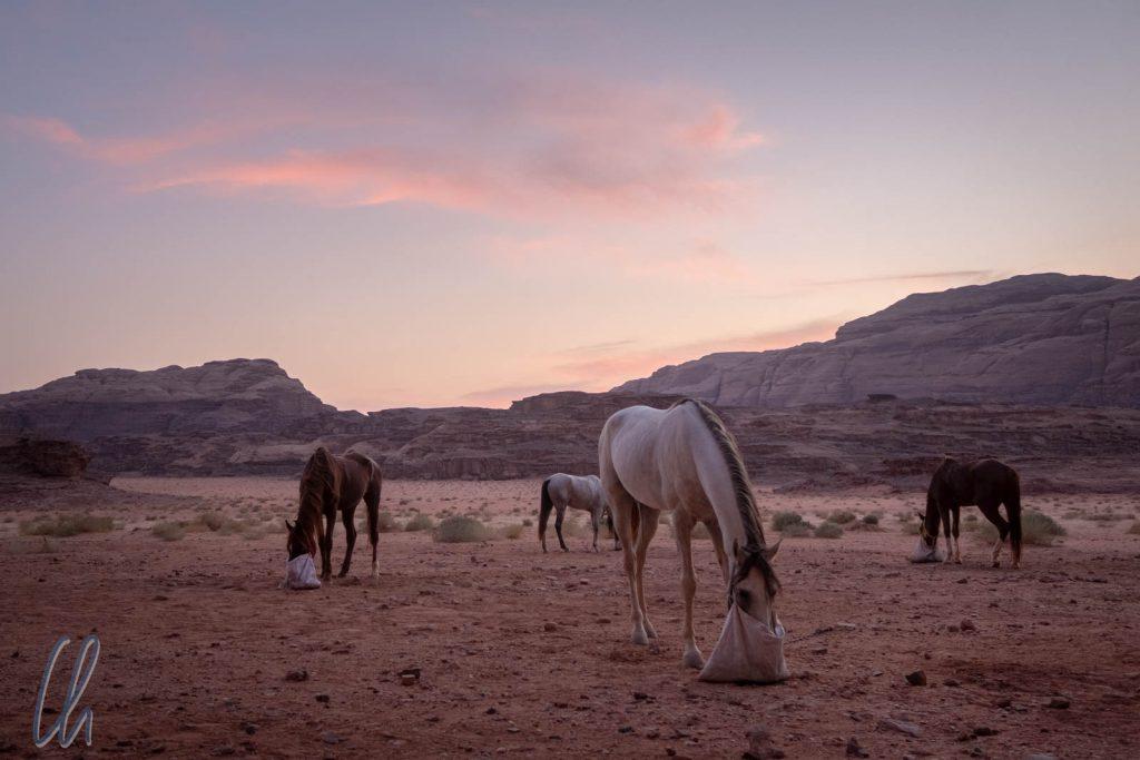 Für die Pferde war der Sonnenuntergang die Zeit für das Abendessen.