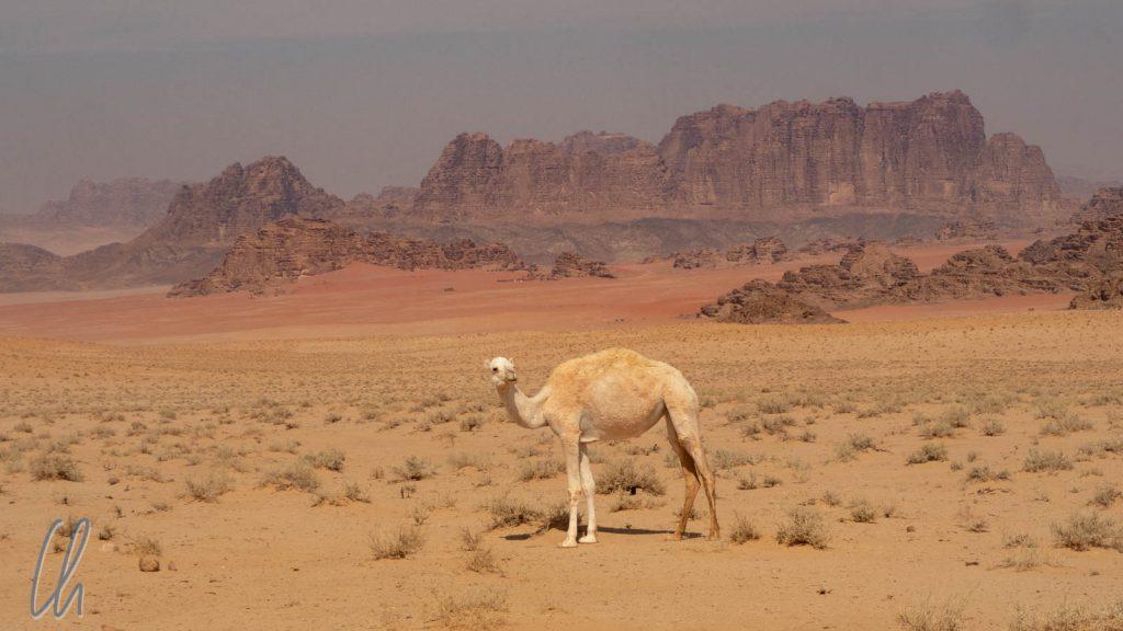 Ein Wüstenkamel im Wadi Rum